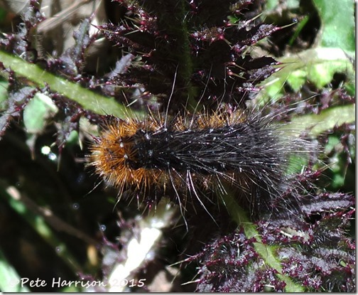14-Garden-tiger-Caterpillar