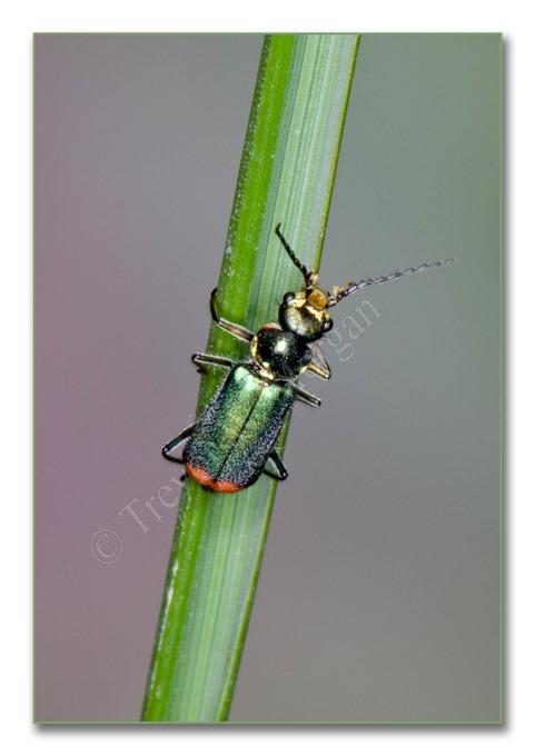 2 Bugs 7  Malachite