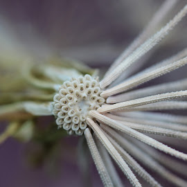 Seed Head  by Janet Herman - Nature Up Close Other plants ( seed head, macro, weed, nature up close, seeds )