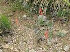 Firecracker Penstemon 4/16 - AZ Trail