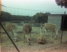 1983.06.25-039.10 lamas
