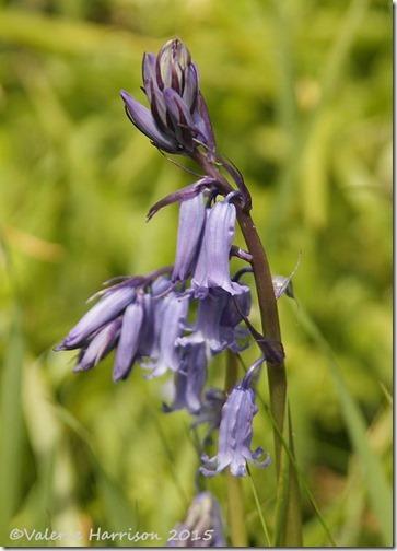 15 bluebell