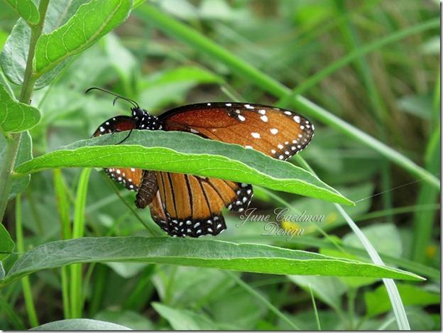 Queen_Butterfly5