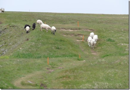 nl_argentia_cape_st_marys_sheep