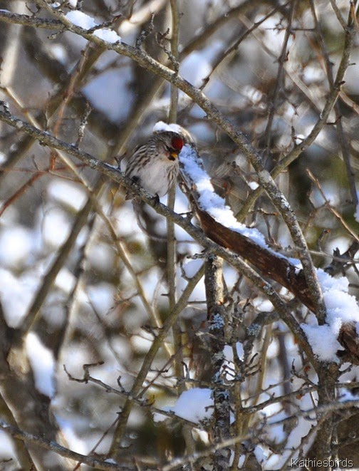 3. Redpoll Feb 25-kab