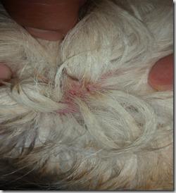 "La ""dermatite umida"" nel cane"