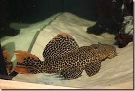 be-ca-canh-leopard_pleco_catybabeo003-be-thuy-sinh