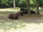 Bulls at the old farm at the Nashville Zoo 09032011