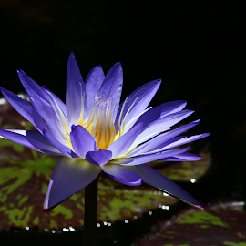 Star of Siam Tropical water lily by Krista Skarin - Flowers Single Flower ( tropicalwaterlily, sunkengardens, kristasphotography, tropical plants, bluetropicalwaterlily, water lily )
