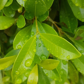 Rain drops on leaves by Renier Swanepoel - Nature Up Close Leaves & Grasses ( leaves rain, green leaves, raindrops, leaf, leaves )