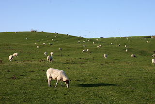 Sheep everywhere ... but they are not Herdwicks!