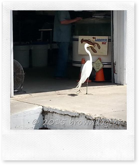 Egret at the shrimp dock4.