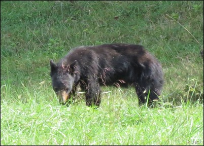 Bear with cub on Cades Cove Loop