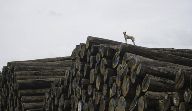 A dog stands atop a valuable pile of lumber in Yangon, Myanmar. Photo: Ye Aung Thu / AFP / Getty Images