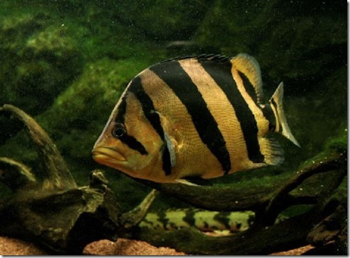 be-ca-canh-siamese_tiger_perch_cathaiho_thaihodao-be-thuy-sinh