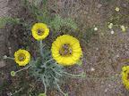 Bees on Desert Marigold 4/18