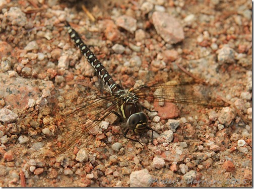 common-hawker-2