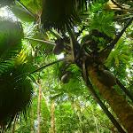 Coco de Mer w parku narodowym na Praslin.