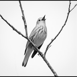 Yellow Warbler by Dave Lipchen - Black & White Animals ( yellow warbler )