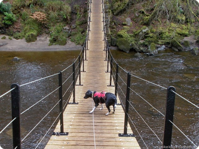 lucky has a wobbly moment on the wobbly bridge