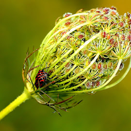 Daucus carota by Gérard CHATENET - Nature Up Close Other plants (  )