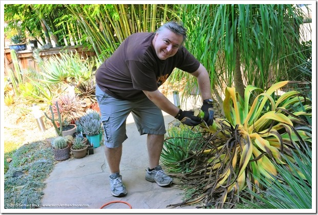 Removing the dead carcass of my Agave desmettiana 'Variegata'