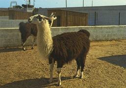 Lessay lamas