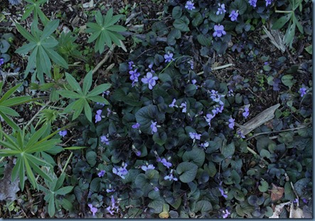 A patch of violets