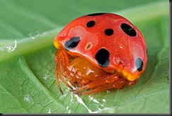 ladybird-mimic-spider  OR the INNER ladybug they keep hidden.