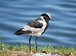 Blacksmith lapwing (photo by Clare)