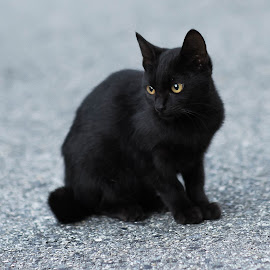 Black kitten by Kouzou Nakano - Animals - Cats Kittens ( tiny, k-3, kitten, cat, pentax, little, black )