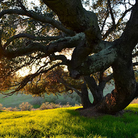 Winter in California by Cheryl Calentine - Novices Only Landscapes ( tree, oak, california, sunset, sunrise )