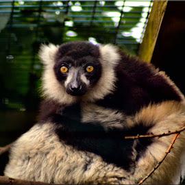 lemur by Nic Scott - Animals Other ( lemur, animal )