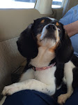PnP Rescue - Darla the Blind Beagle - April 2015 - 21