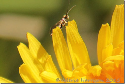 19-Micropterix-calthella
