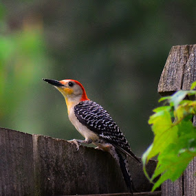 Red Bellied sunning on a fence by Bill Martin - Animals Birds ( stripes, red, red bellied, white, nature, bird, black, tree, woodpecker, fence,  )