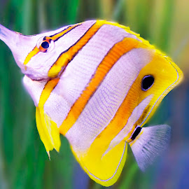 Copper Butterfly fish by Brook Kornegay - Animals Fish ( butterfly, fish, copper banded butterfly,  )