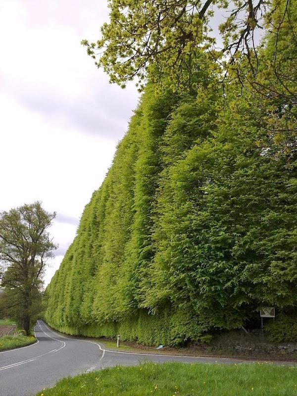meikleour-beech-hedges-7