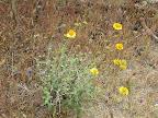 Unidentified yellow-flowering plant, AZ Trail 4/16