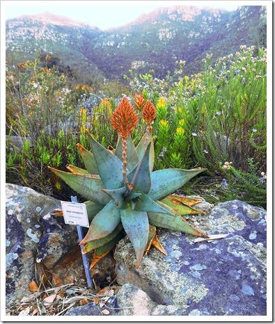 Aloe_perfoliata-comptonii_-_Cape_Town