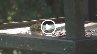 Sijs jaagt andere vogels van voederplank!