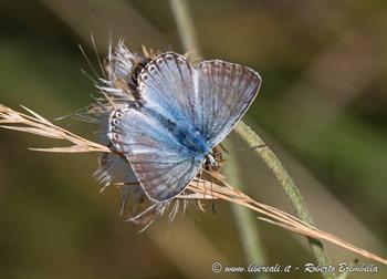33_Polyommatus coridon_Cainallo-Bietti-004 (FILEminimizer)