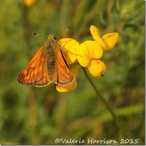 22-large-skipper