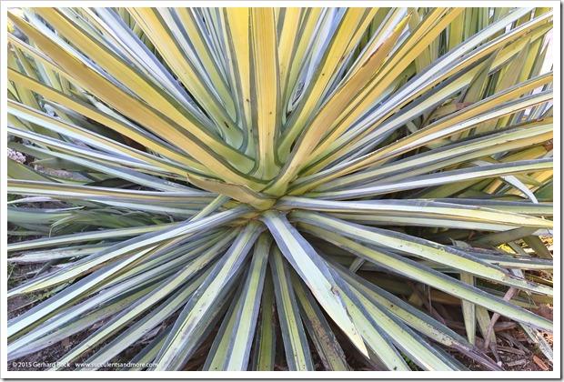 141227_Huntington_0248_Agave-sisalana-variegata