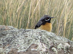 Drakensburg rockjumper (photo by Clare) - my favorite bird of the trip. They danced around and displayed for us!