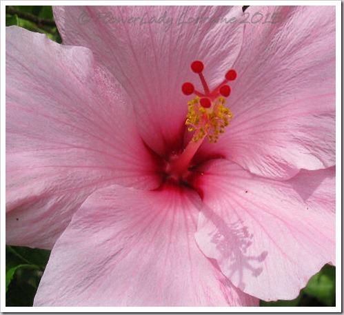 07-23-pink-hib2