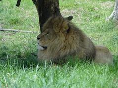 201506.21-042 lion