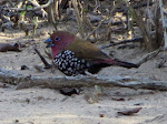 Pink-throated twinspot (photo by Clare) - Mkhuze Game Reserve