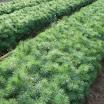 pine_white_3-0-2.jpg