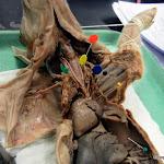 fetal_pig_trachea02.JPG